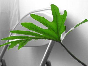 philodendron leaf on b&w bg